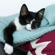 Our New Kitten - Sgt. Pepper