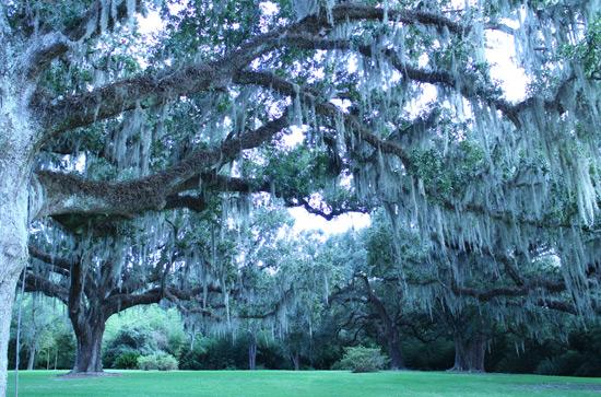 avery_island_trees