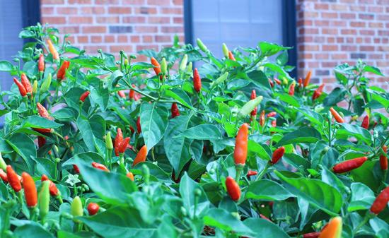 pepper_plant