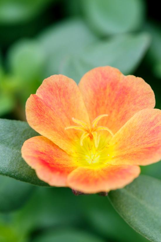 Purslane Blossom