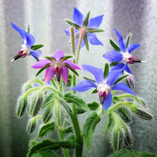 Borage Flowers