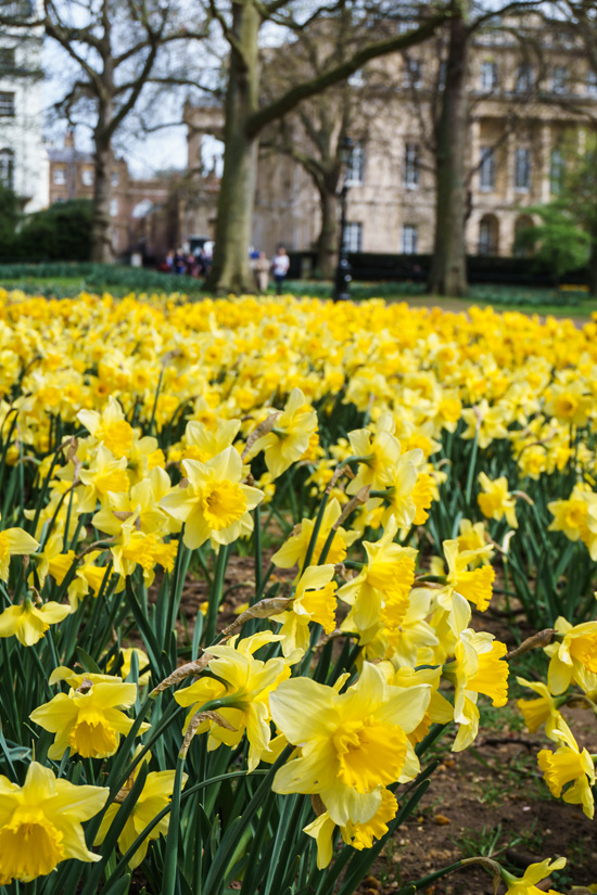Daffodils in Park Green, London