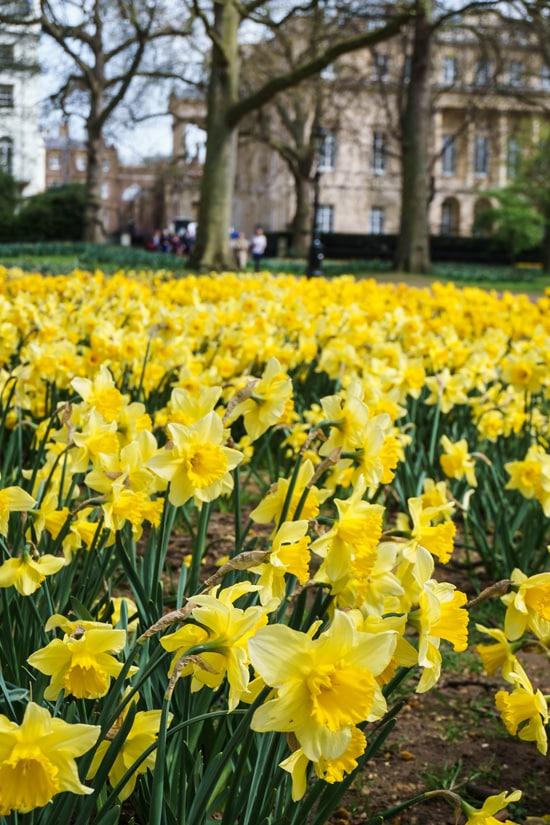 Daffodils in Park Green, London