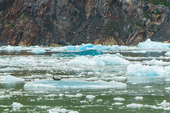 Harbor Seal on South Sawyer Glacier, Tracy Arm Fjord, Alaska