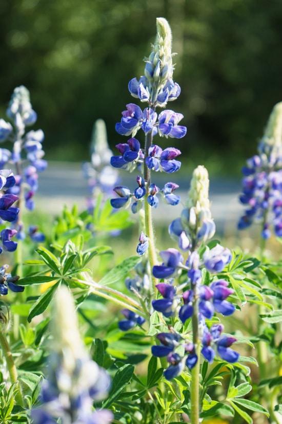Lupine Flowers, Skagway, Alaska
