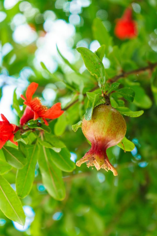 Pomegranates in Kusadasi, Turkey