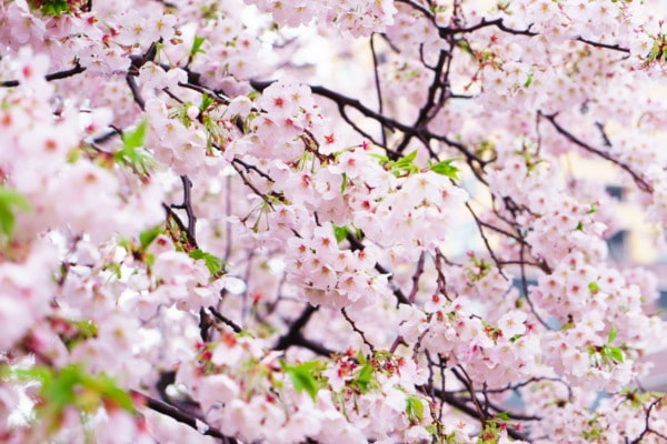 Cherry blossoms along the Nakameguro canal, Tokyo, Japan