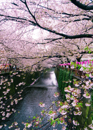 Tokyo in bloom, cherry blossoms along the Nakameguro canal