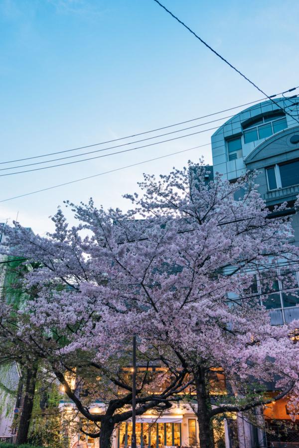 Cherry Blossoms at Dusk, Kyoto Japan