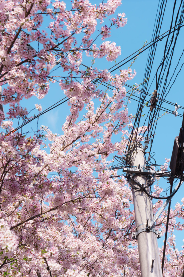 Kyoto, Japan cherry blossoms