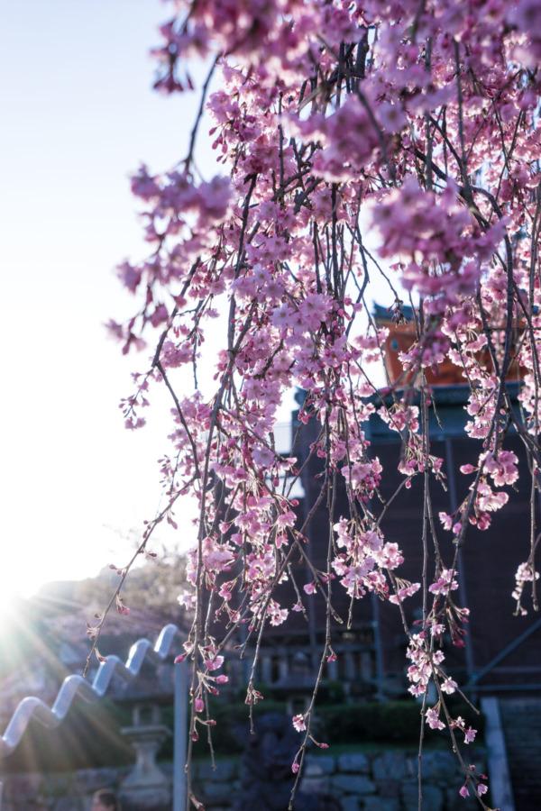 Cherry Blossoms at Kiyomizu-dera Temple, Kyoto, Japan