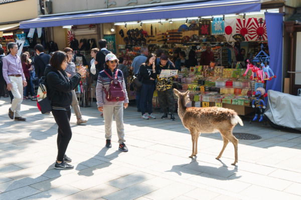 Friendly Deer of Nara, Japan