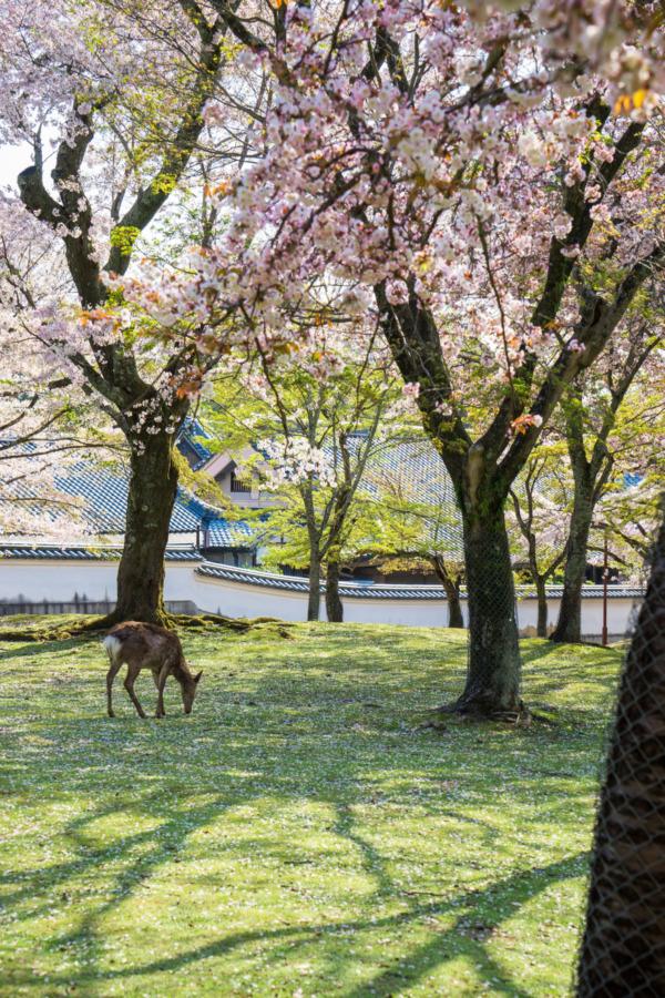 Friendly Deer of Nara, Japan