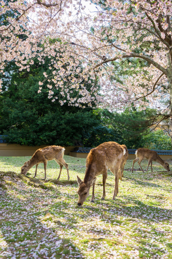 Deer and cherry blossoms, Nara, Japan