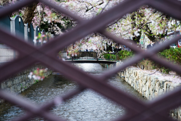 Cherry blossoms along the canal, Kyoto Japan