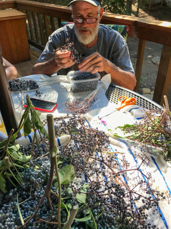 Picking Elderberries in Truckee, California