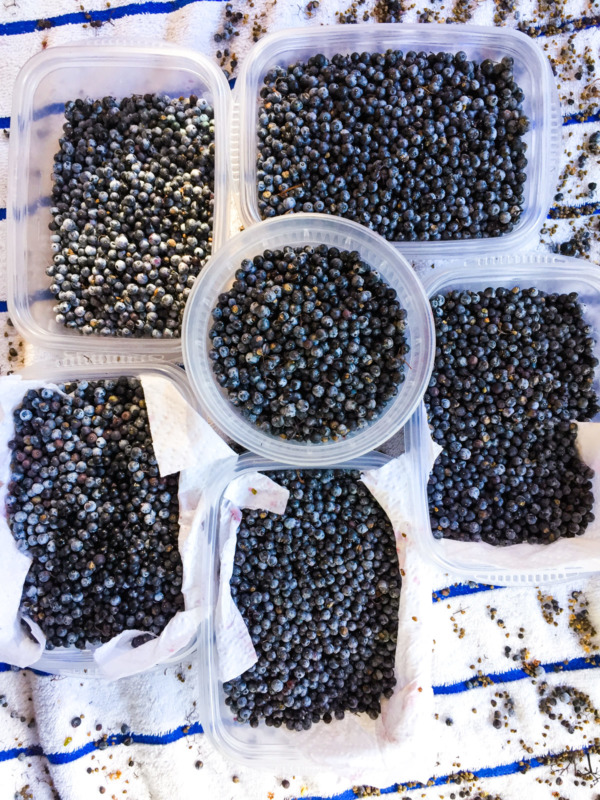 Freshly picked elderberries ready to be made into jelly!