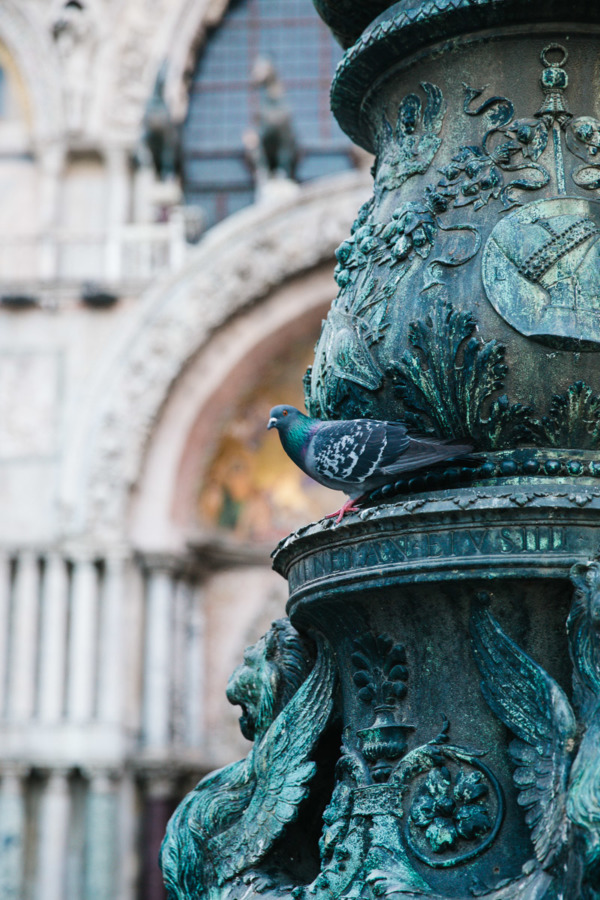 Pigeon in Piazza San Marco, Venice Italy