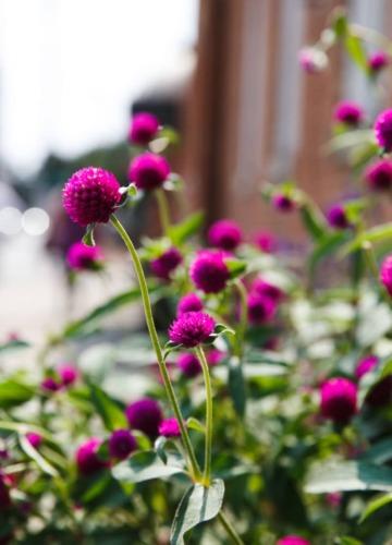 Pretty sidewalk flowers, Columbus, Ohio