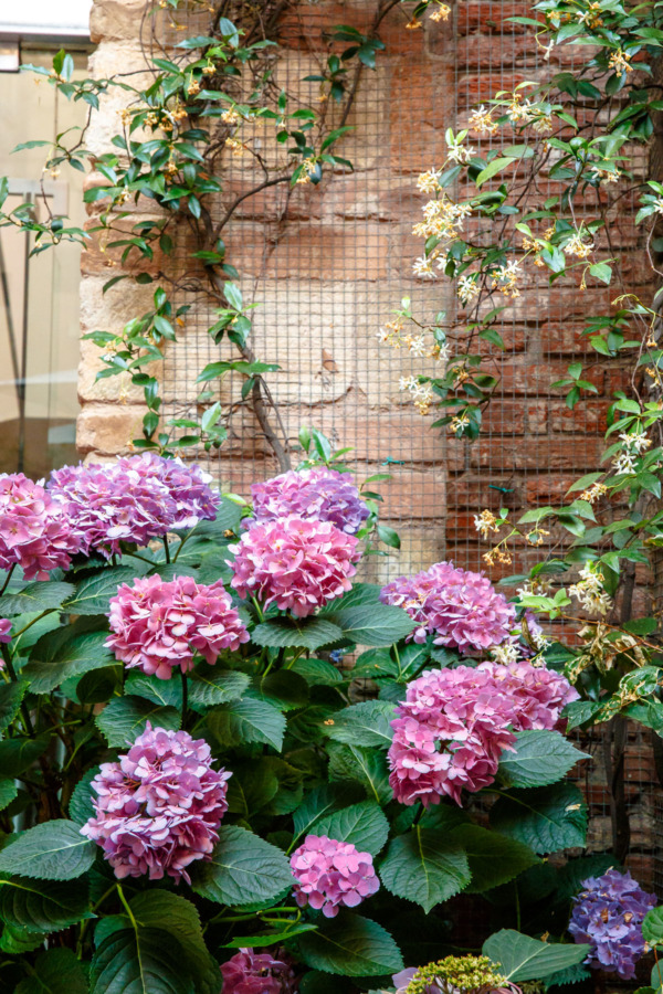 Hydrangeas in the courtyard of the Palazzo Victoria hotel in Verona, Italy