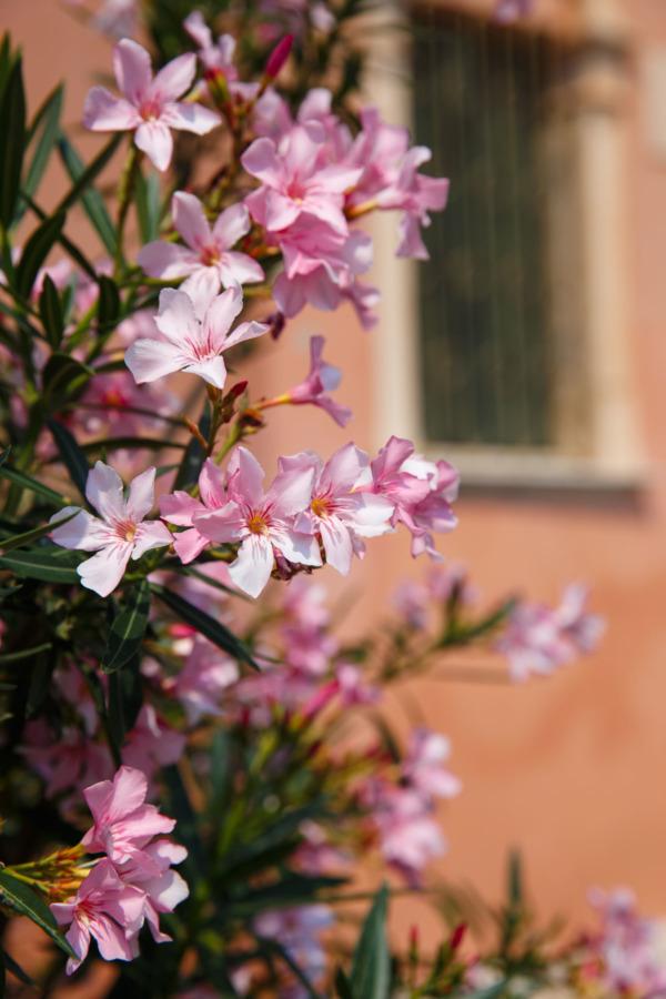 Pink flowers in Verona, Italy