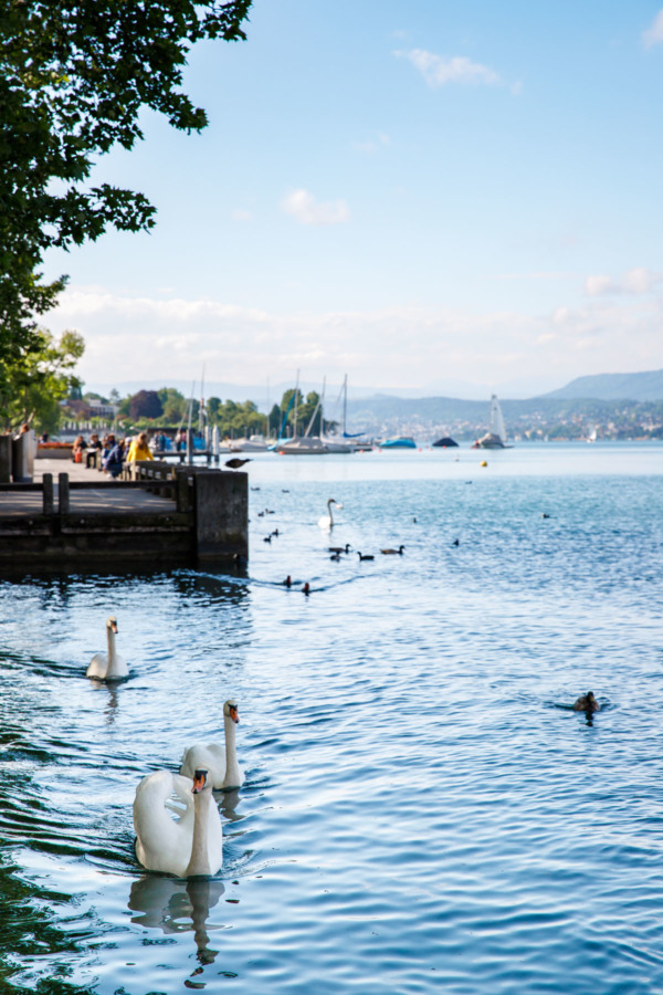 Swans swimming in Lake Zurich, Switzerland