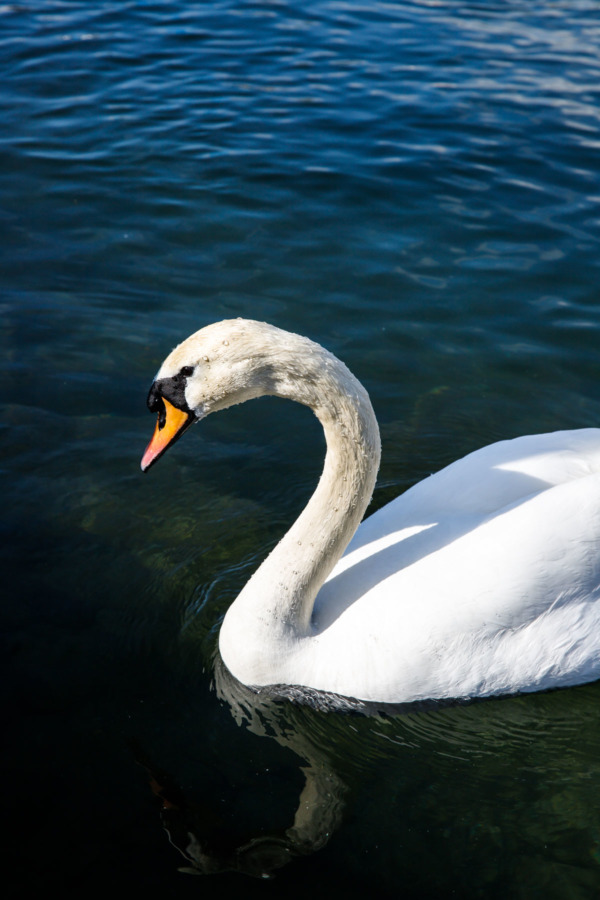 Swan in Lake Zurich, Switzerland