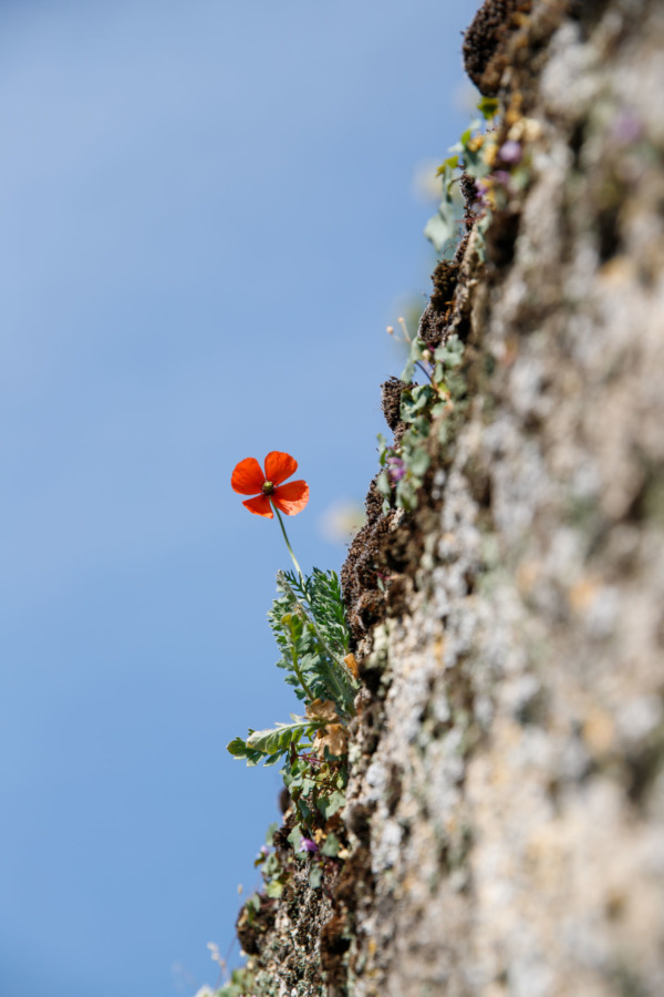 A poppy grows out of a stone wall in Montreuil-Bellay, France