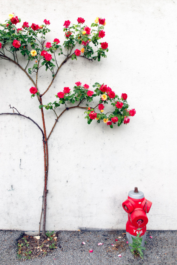 Climbing roses and fire hydrant in Montsoreau, France