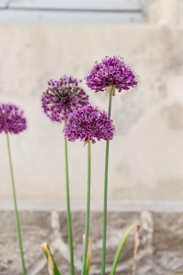 Purple flowers growing in Fontevraud-l'Abbaye, France