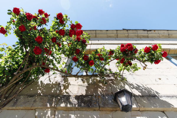 Red roses in Fontevraud-l'Abbaye, France