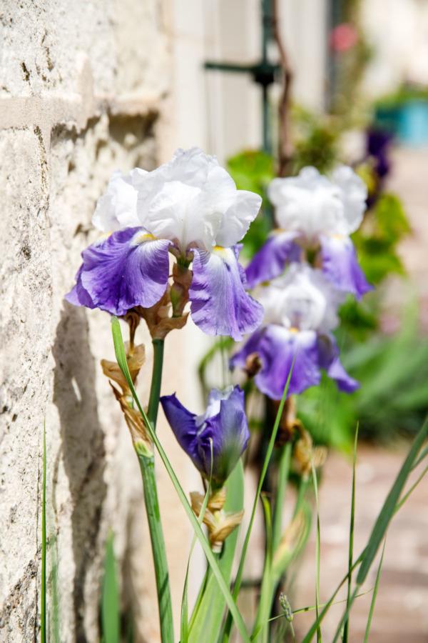 Irises in bloom, Fontevraud-l'Abbaye, France