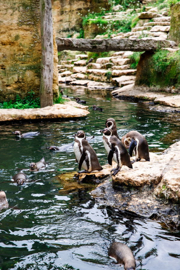 Penguins in the Bioparc (Zoo) in Doué la Fontaine, France