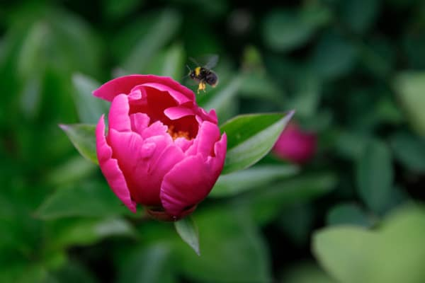 A bee finds a peony, La Maison Dovalle, Montreuil-Bellay, France