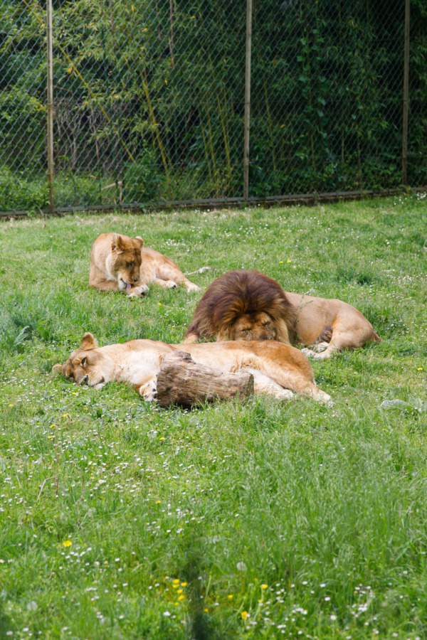 Lions relaxing in the Bioparc (Zoo) at Doué la Fontaine, France