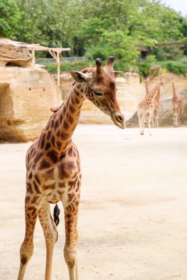Friendly giraffe, Bioparc (Zoo) Doué la Fontaine, France