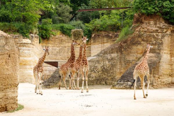 Giraffes at the Bioparc (Zoo) Doué la Fontaine, France