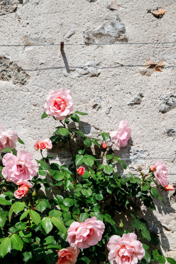 Pretty pink roses in the gardens of Château de Villandry, Loire Valley, France