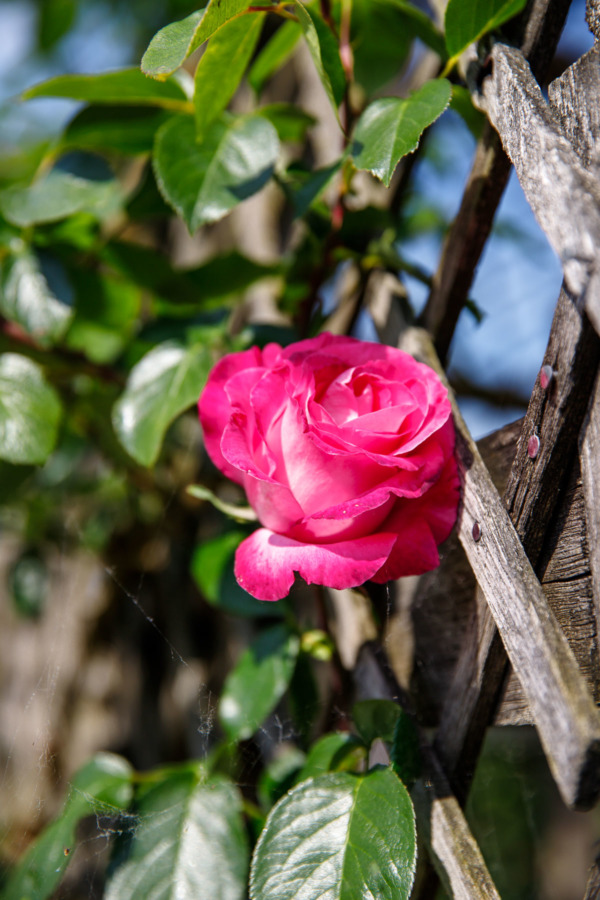 Pink rose climbing a trellis in the garden of Château de Villandry, Loire Valley, France