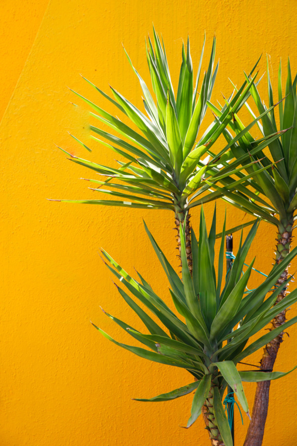 Green palm against a bright yellow wall, Burano, Italy
