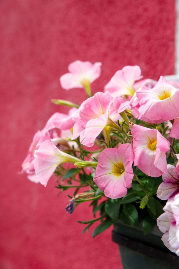 Pink flowers against a red wall, Burano, Italy