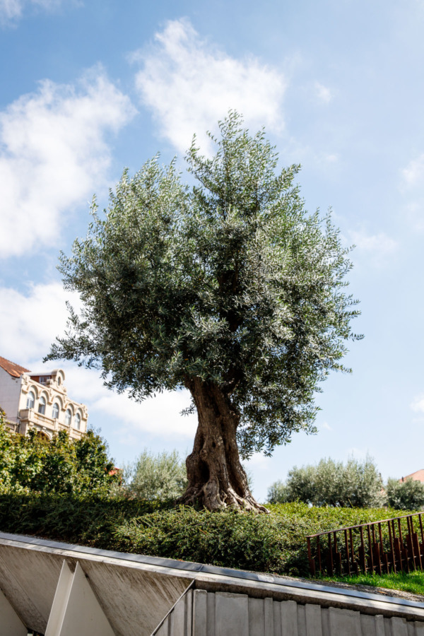 Old olive tree in Porto, Portugal