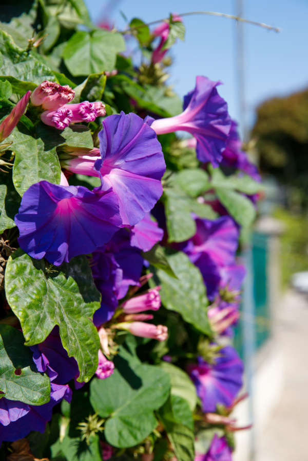 Morning glories growing along the road in Sintra, Portugal