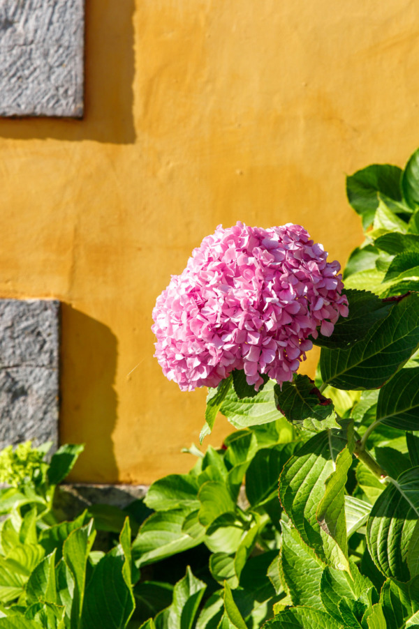 Pink hydrangea flower against a bright yellow wall at the Pena Palace in Sintra, Portugal