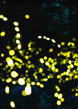 Synchronous Fireflies of the Great Smoky Mountains