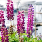 Gorgeous Purple Lupine Flowers in Alaska