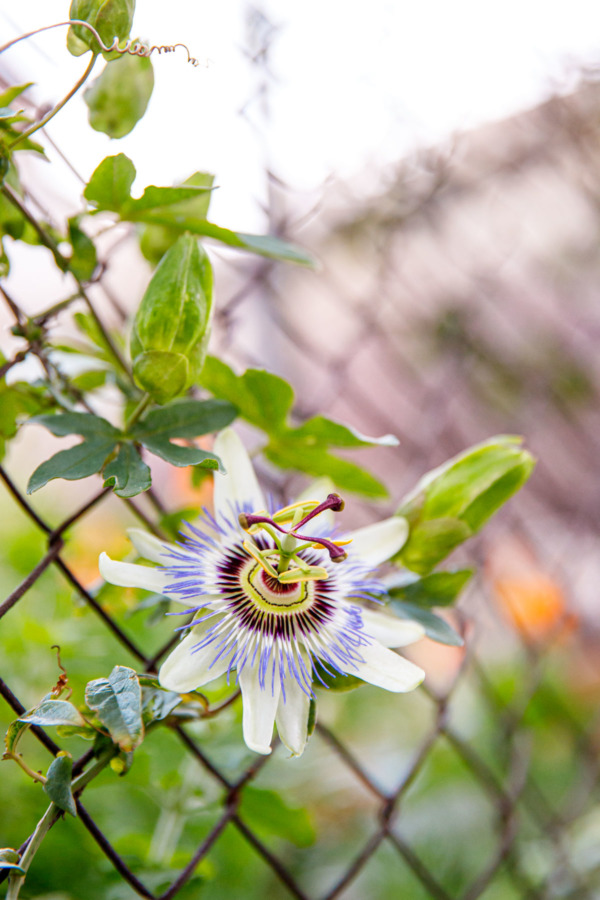 Passionflower growing up a chain link fence, Dubrovnik, Croatia