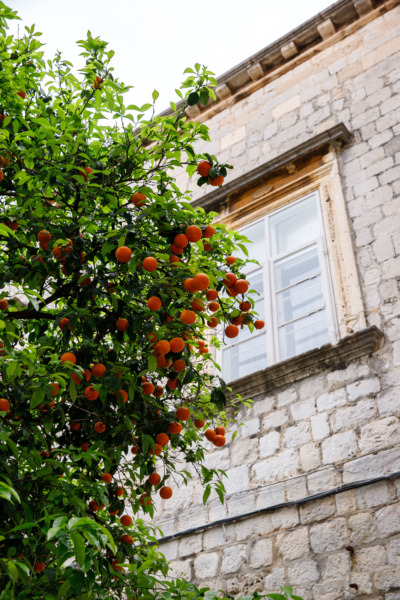 The bitter orange trees of Dubrovnik, Croatia