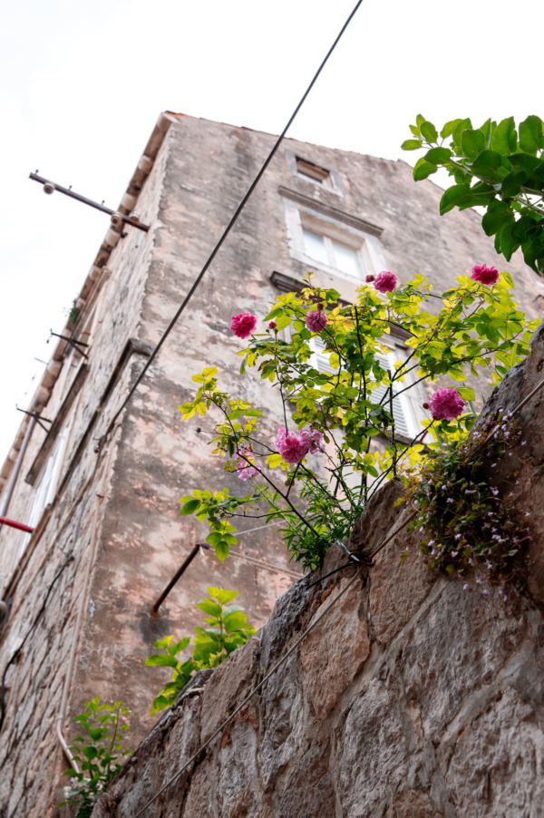 Pink flowers growing out of an old stone wall, Dubrovnik, Croatia