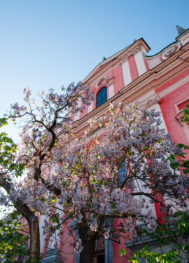 A pretty pink building with purple wisteria flowers against a blue sky, Ljubljana, Slovenia
